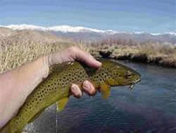 Owens River trout